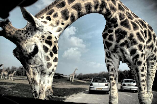 603054 - Fotowedstrijd. Safaripark Beekse Bergen.