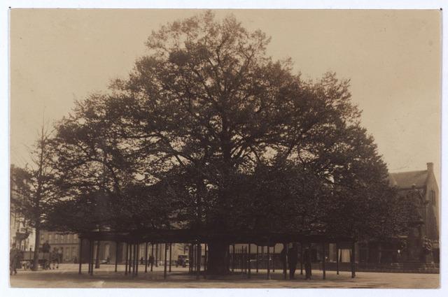 000938 - Lindeboom op de Heuvel in april 1925 gefotografeerd. De hppgte van de boom was toen 16.50 meter, de diameter van de kroon was 22.30 meter en de hoogte van de stam 2.20 meter De kroon van de boom rustte op 32 ijzeren palen. Een van de personen onder de boom is Van Geelen, tuinbaas van de gemeente.