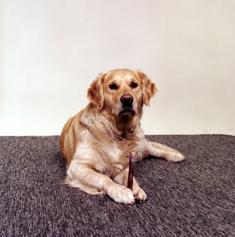 1237_3_388A_002 - Hondenportret; Golden Retriever