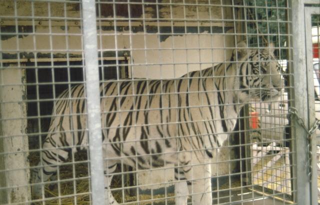 656894 - Witte tijger van het American Circus dat is neergestreken op het Laarveld in Tilburg.