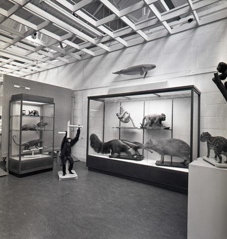653762 - Cultuur. Interieur van het Natuurhistorisch Museum. Het museum aan de paleisring werd gesloopt in 1965. Mogelijk zijn deze foto's al gemaakt in de nieuwe (tijdelijke) locatie aan de Kloosterstraat in een voormalige textielververij. Tot het museum in 1985 naar de locatie aan de Spoorlaan verhuisde.