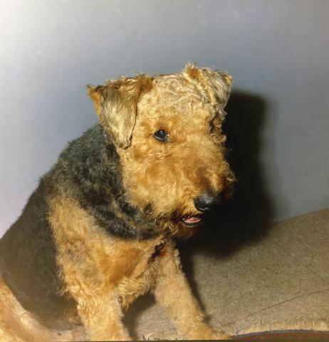 1237_012_981_001 - Dieren. Hond. Collectie hondenportretten uit de jaren zeventig. Airedale Terriër.