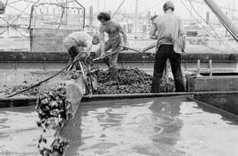 Mossels verwateren. V.l.n.r. Frans Sinke, Jos Sinke en (op de rug gezien) Joos S…
