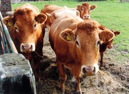 biologische boer Hans Groenland houdt vleesvee.