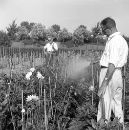 medewerkers van de gemeente kwekerij Overwater aan de Langevielesingel