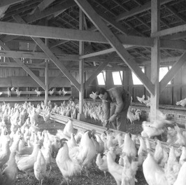 kippenfokker Willy Vernaeve in de stal