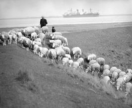 schaapherder met kudde